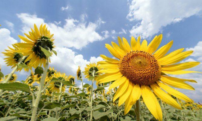 Седам житних цветова